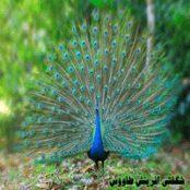 پاورپوینت شگفتی آفرینش طاووس